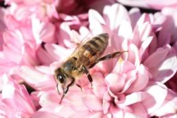 Neature - Abeille avance sur fleurs