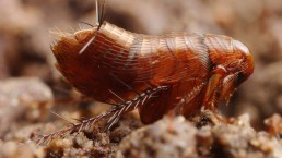 Traitement des insectes rampants : la puce