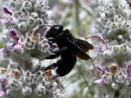 Neature - Abeille charpentière butine fleur
