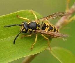 Neature - Guêpe sur feuille, traitement des insectes volants