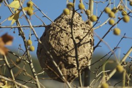 Neature - nid secondaire de frelons asiatiques