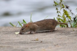 Neature - rat brun renifle nourriture