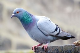 Neature - Pigeon