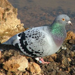 Neature Pigeon