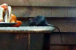 Neature - Rat noir nourriture