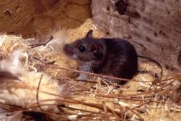 Neature - Rat noir dans son nid