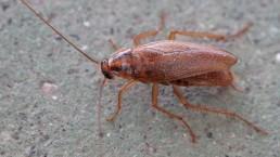 Traitement des insectes rampants : la blatte germanique