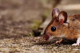Dératisation : rats et souris