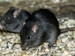Dératisation - Rat noir - Neature